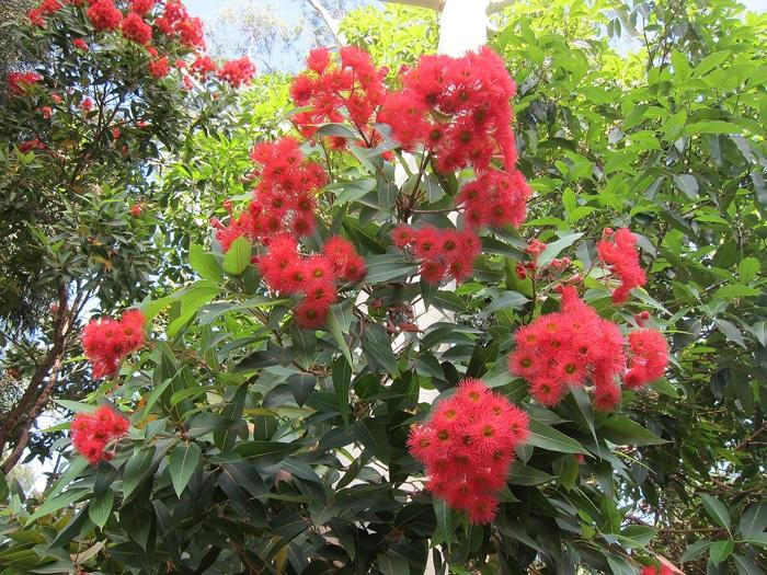 Arbuste Corymbia ficifolia