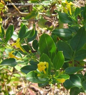 fleurs Jasminum odoratissimum