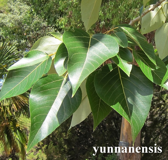 feuilles Populus yunnanensis