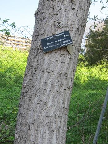 écorce Populus fremontii