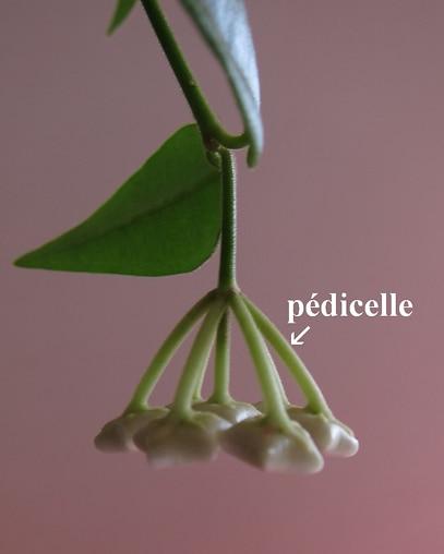 pédicelles Hoya bella