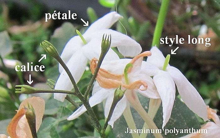 hétérostylie du jasmin