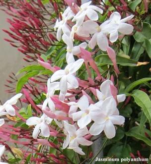 fleurs Jasminum polyanthum