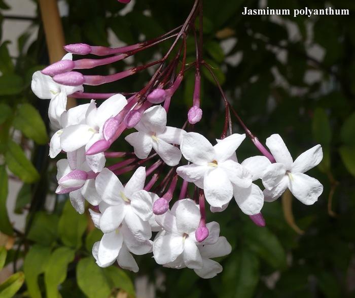 cymes ombellifères Jasminum polyanthum