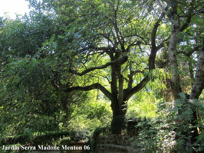 Caroubier Serra madone Menton