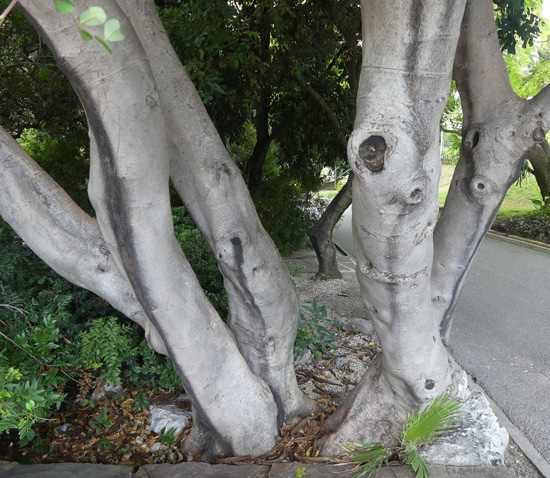 troncs Ceratonia siliqua