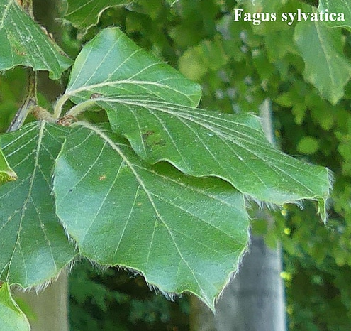 feuilles pubescentes Fagus sylvatica