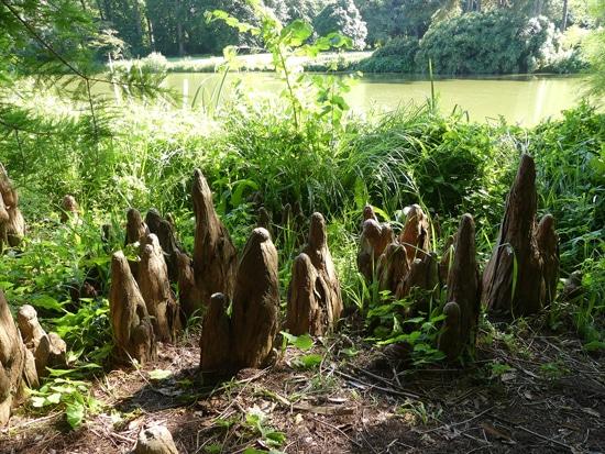 pneumatophores Jardin de Meise Belgique