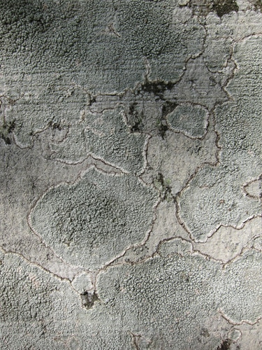 écorce recouverte de lichen Fagus sylvatica pendula