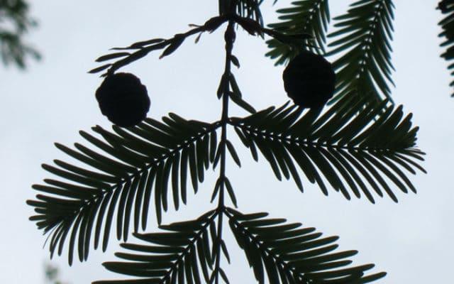 Shui Shan - Sequoia de Chine