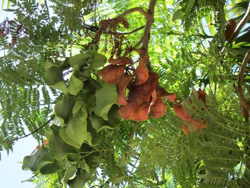 cosses d'arbre à huîtres
