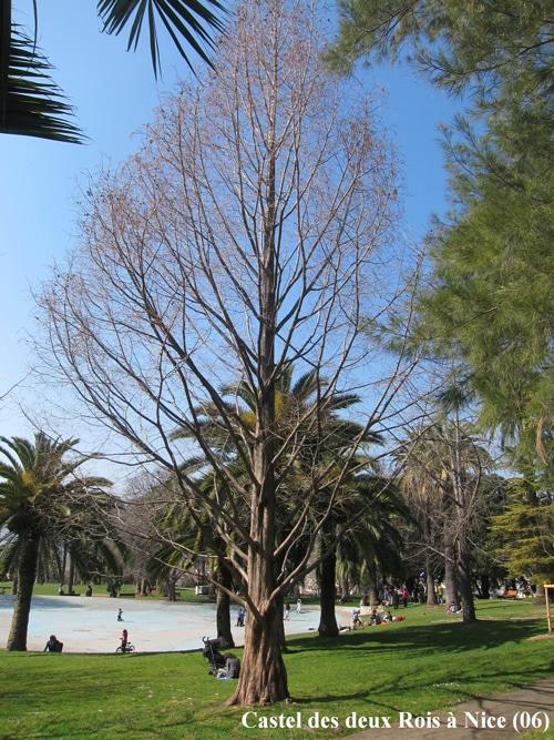 Metasequoia durant l'hiver