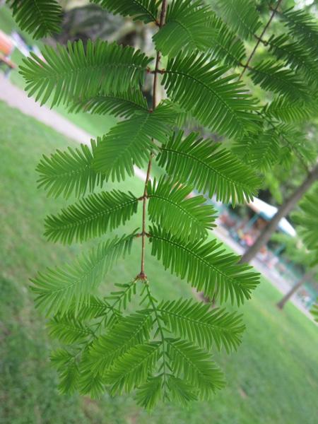 feuilles Metasequoia