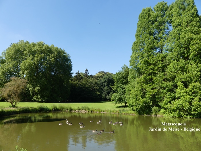 Dawn Redwood Jardin de Meise Belgique