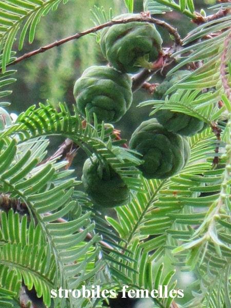 strobiles femelles Metasequoia