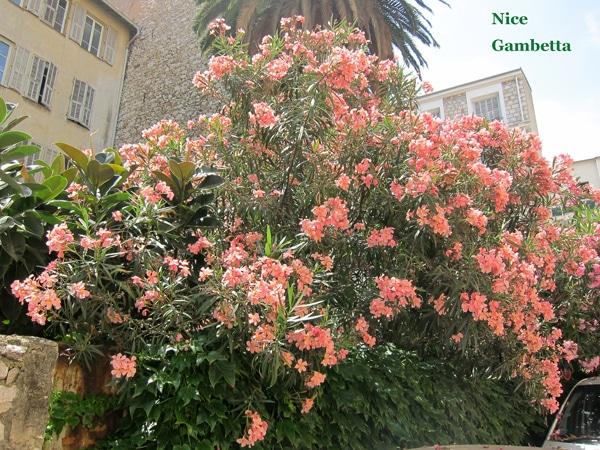 Laurier rose à Nice (06)