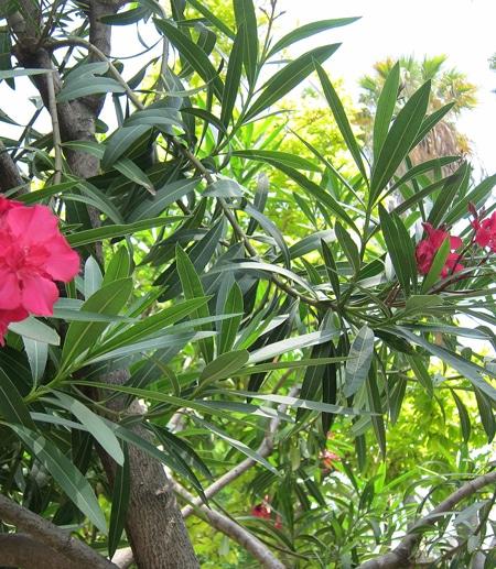 feuilles en verticilles du laurier rose