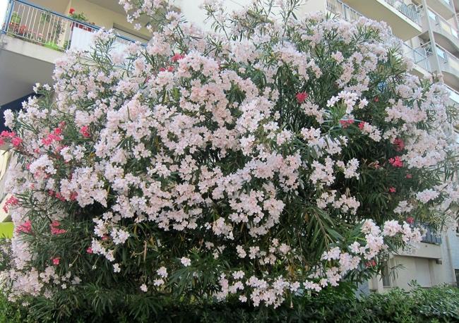 cultivar Nerium oleander