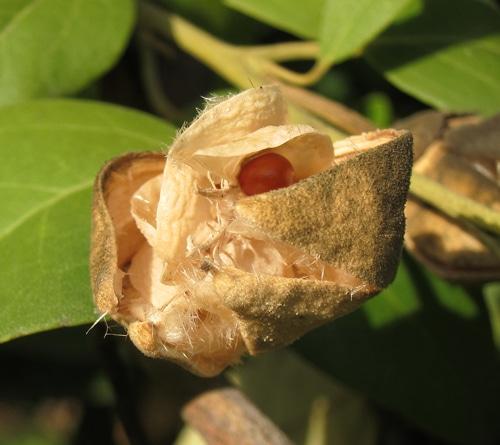 poils irritants du fruit du Lagunaria