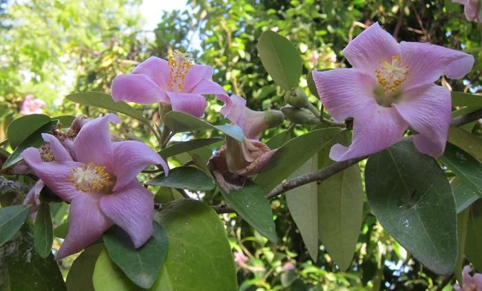 floraison du Lagunaria patersonia