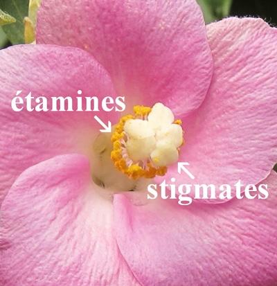 stigmates Lagunaria