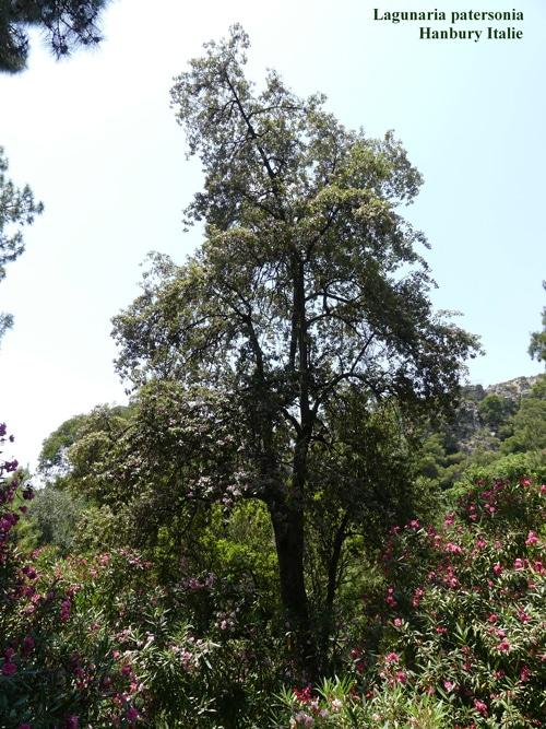 Lagunaria patersonia à Hanbury Italie