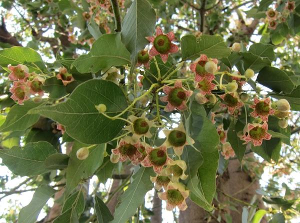 fleurs Sterculia diversifolia