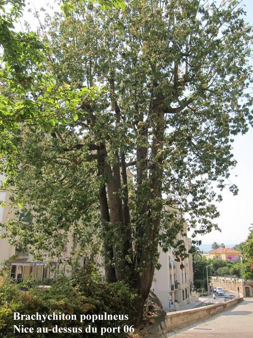 Brachychiton populneus à Nice