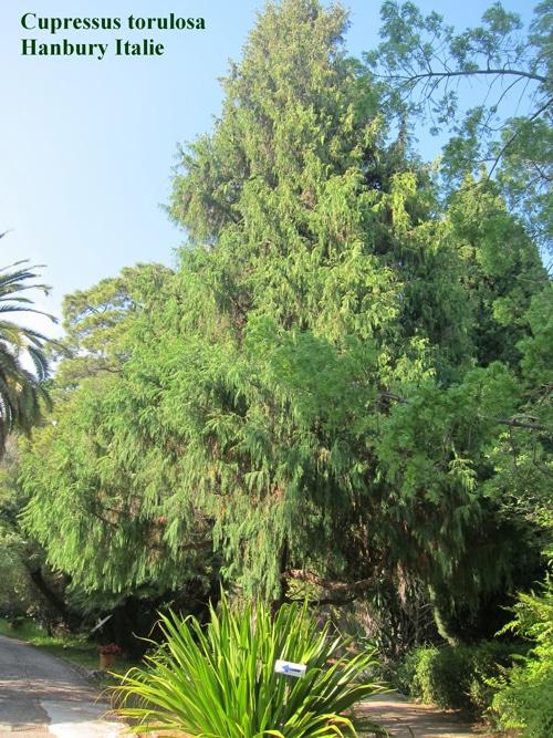Cupressus torulosa - Cyprès de l'Himalaya