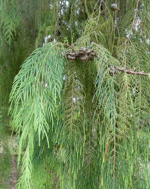 feuillage Cupressus torulosa