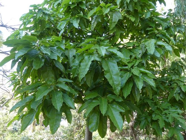 feuilles Illawarra