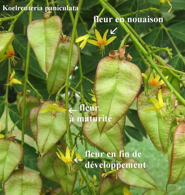 fleur Koelreuteria en nouaison