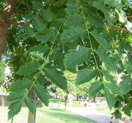 feuilles Koelreuteria paniculata