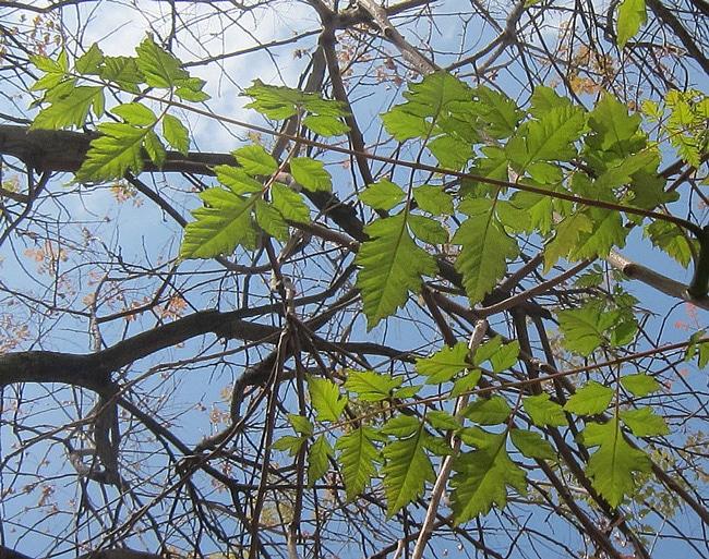feuilles de Luan shu
