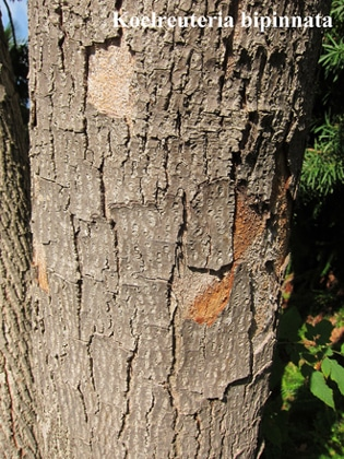 écorce Koelreuteria bipinnata