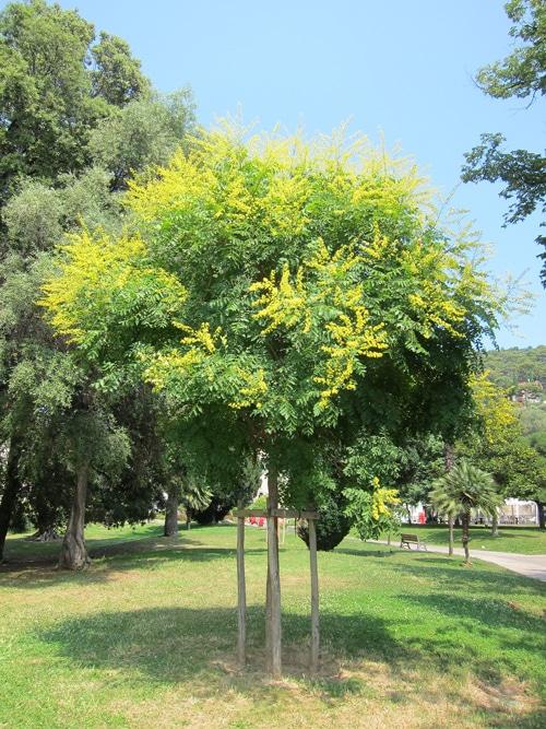 Koelreuteria paniculata Castel des deux Rois Nice 06