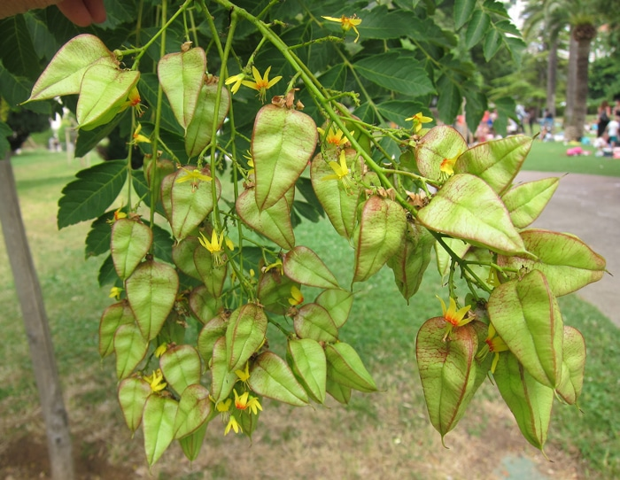 Golden rain tree