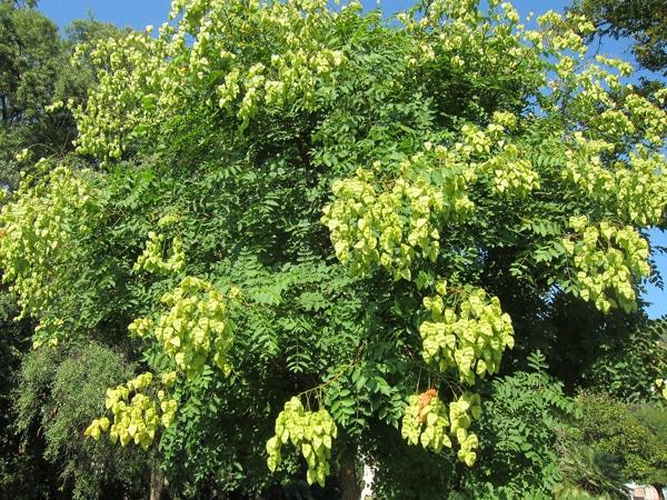 fructification Koelreuteria