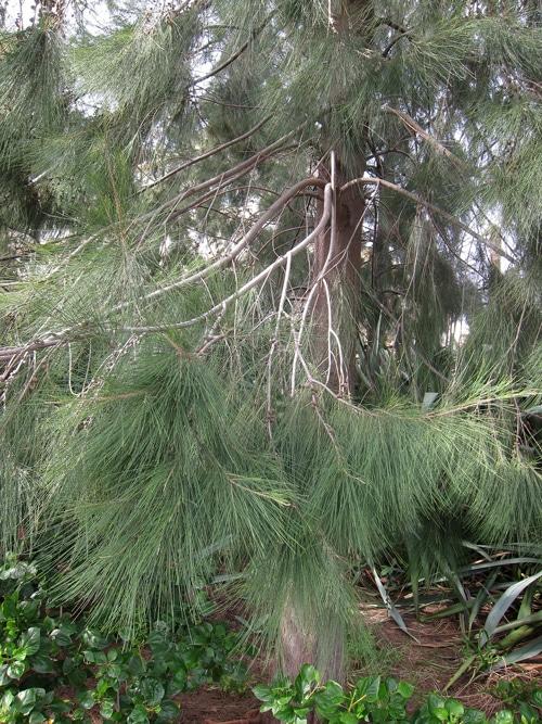 branches de filao