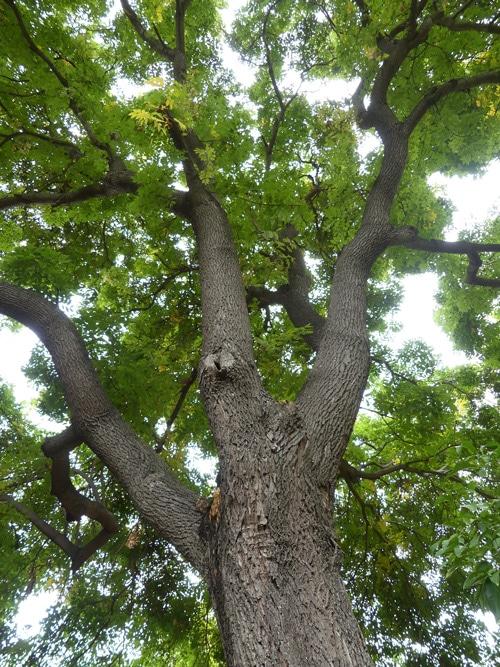 houppier Koelreuteria integrifolia