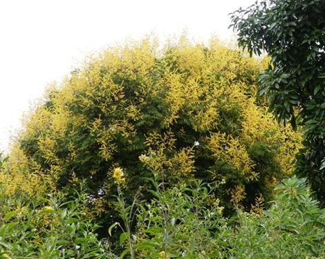 sommet fleuri du savonnier à Hanbury