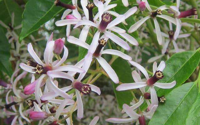 fleurs de Melia azedarach