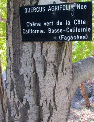 écorce Quercus agrifolia