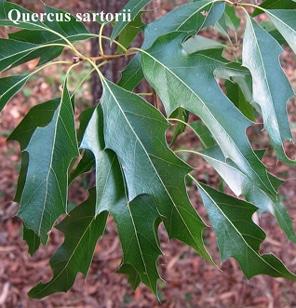 feuilles Quercus sartorii