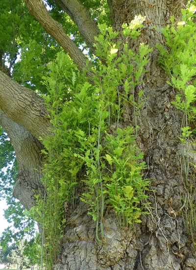 rejets Quercus robur F. fastigiata