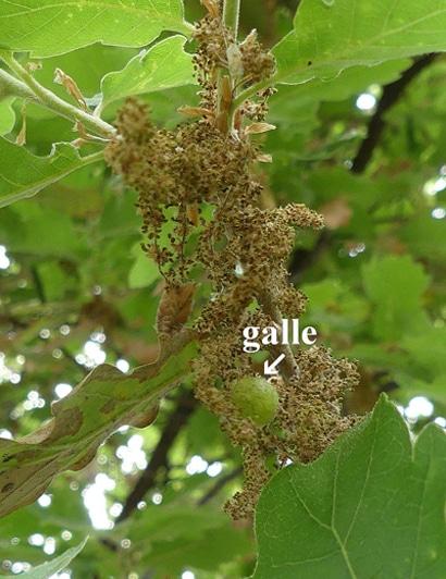 galle chêne - Quercus