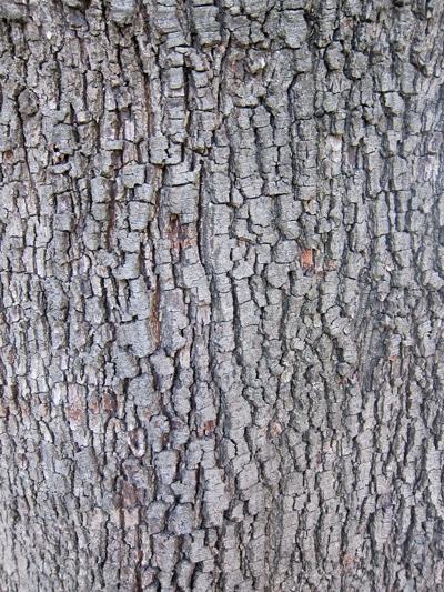 écorce chêne vert
