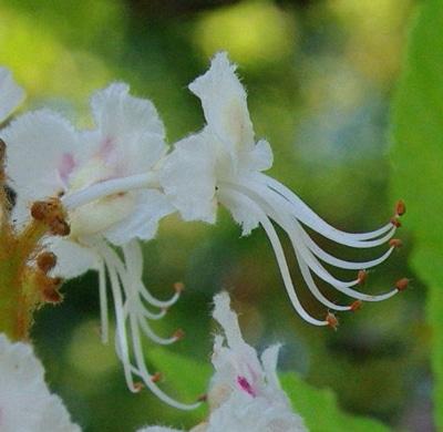 étamines-fleur-marronnier