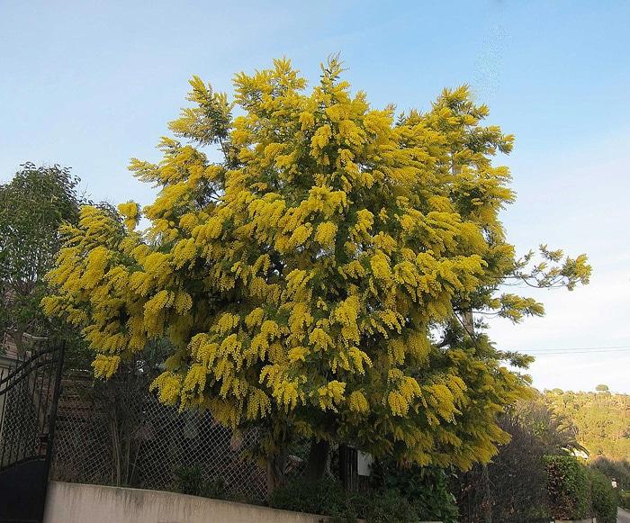 Acacia à La Roquette sur Siagne