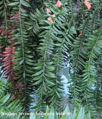 feuillage juvénile Araucaria bidwillii